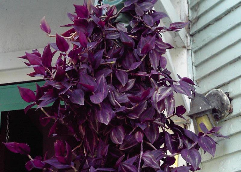 фото и название цветов комнатных высокие цветущие