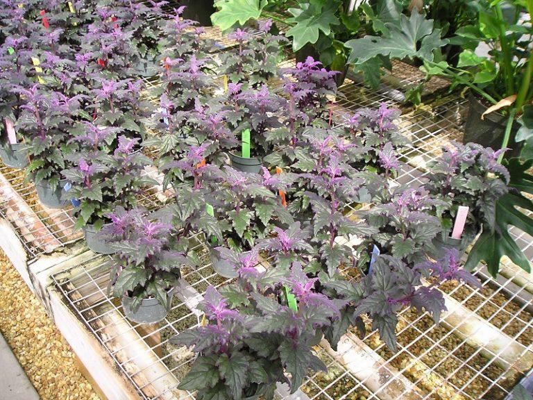 Комнатное растение с фиолетовыми листьями, фото и описание