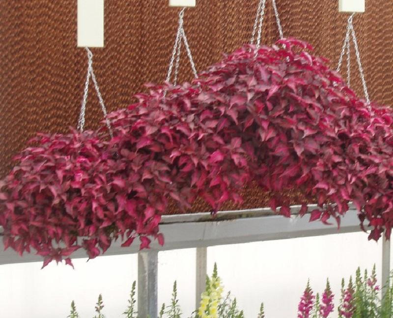 Цветок вьющийся с фиолетовыми листьями