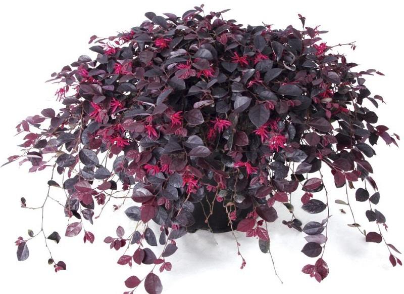 цветок с фиолетовыми листьями на фото