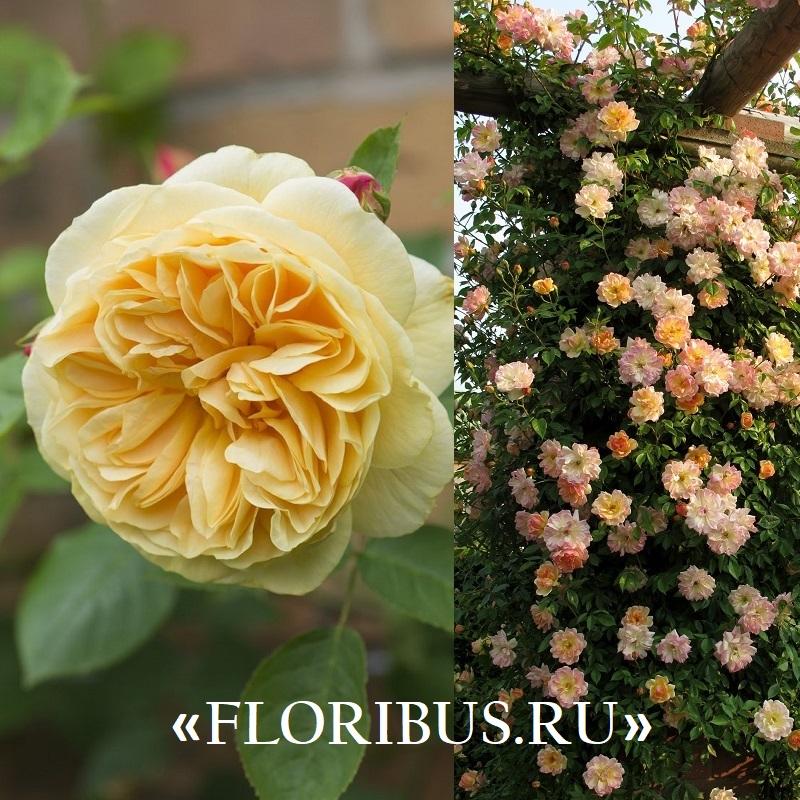 полиантовые розы на фото