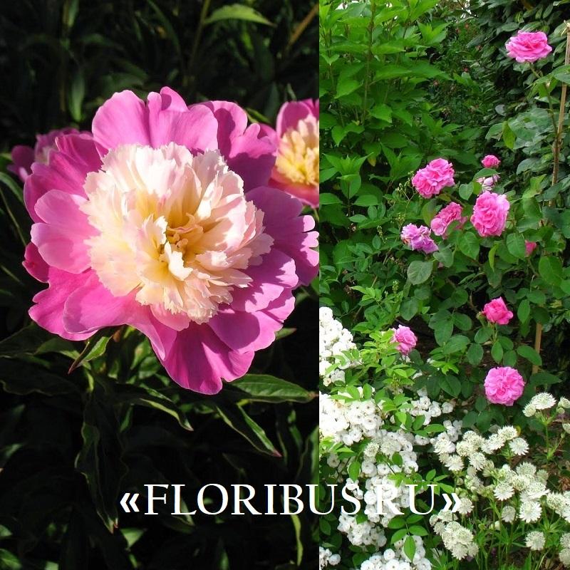 Полиантовые розы уход и выращивание 13