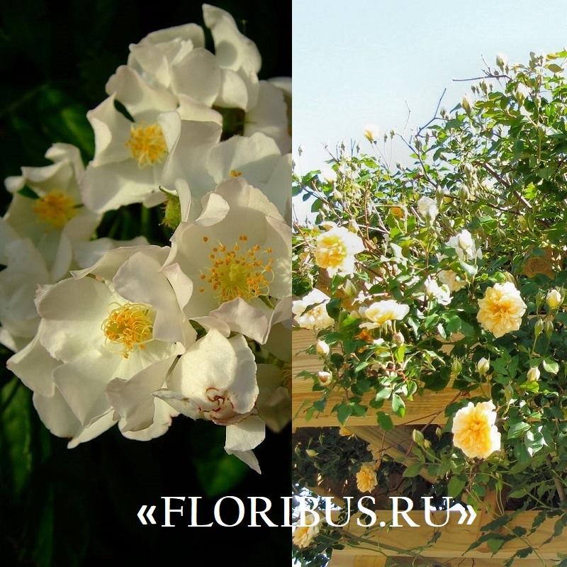 полиантовые розы «Иванно Рабье»