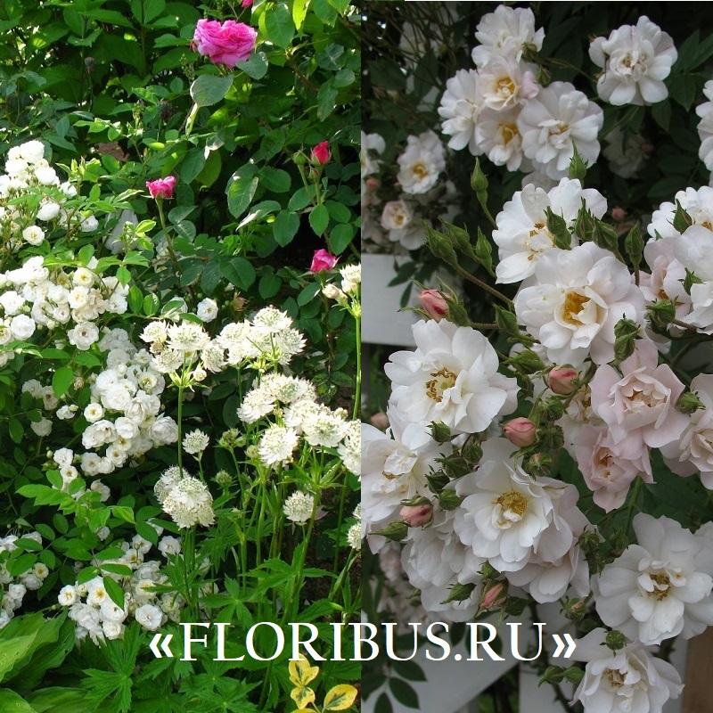 фото полиантовых роз