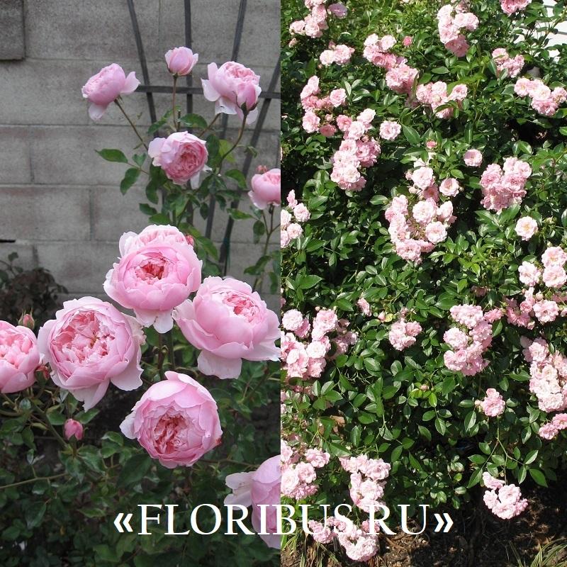 полиантовые розы «Спартак»