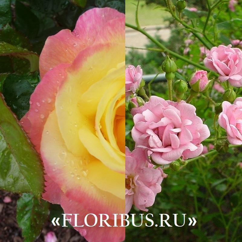 Полиантовые розы уход и выращивание 15
