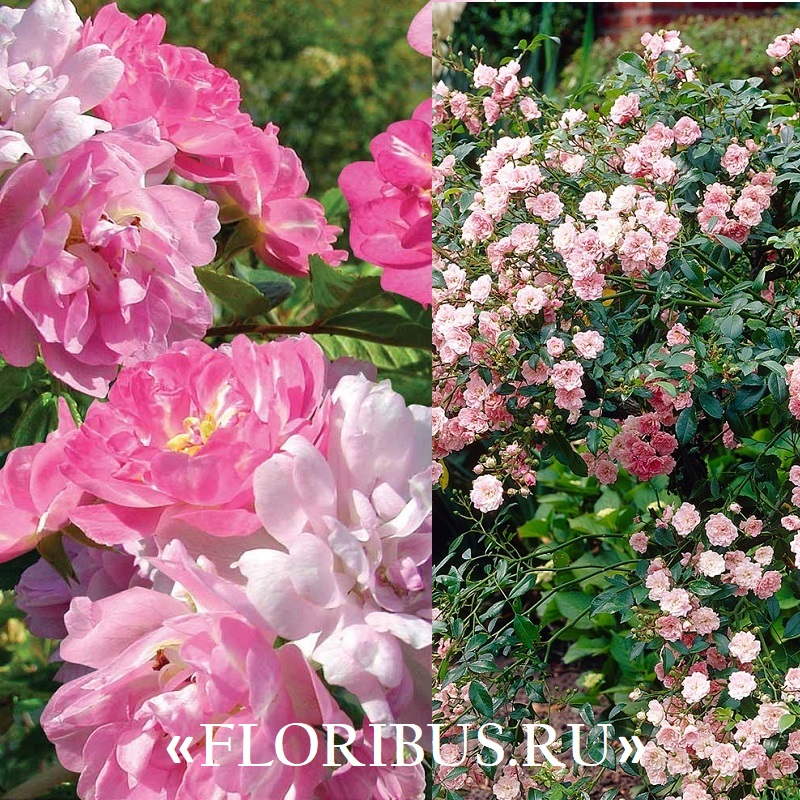 Полиантовые розы уход и выращивание 81