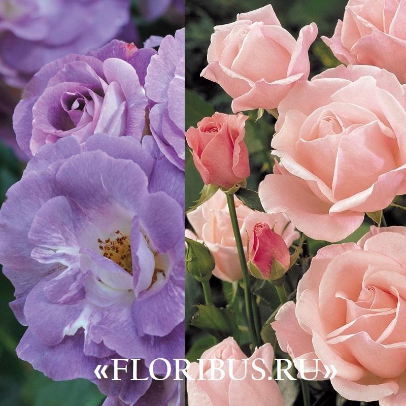 Полиантовые розы сорт том-том