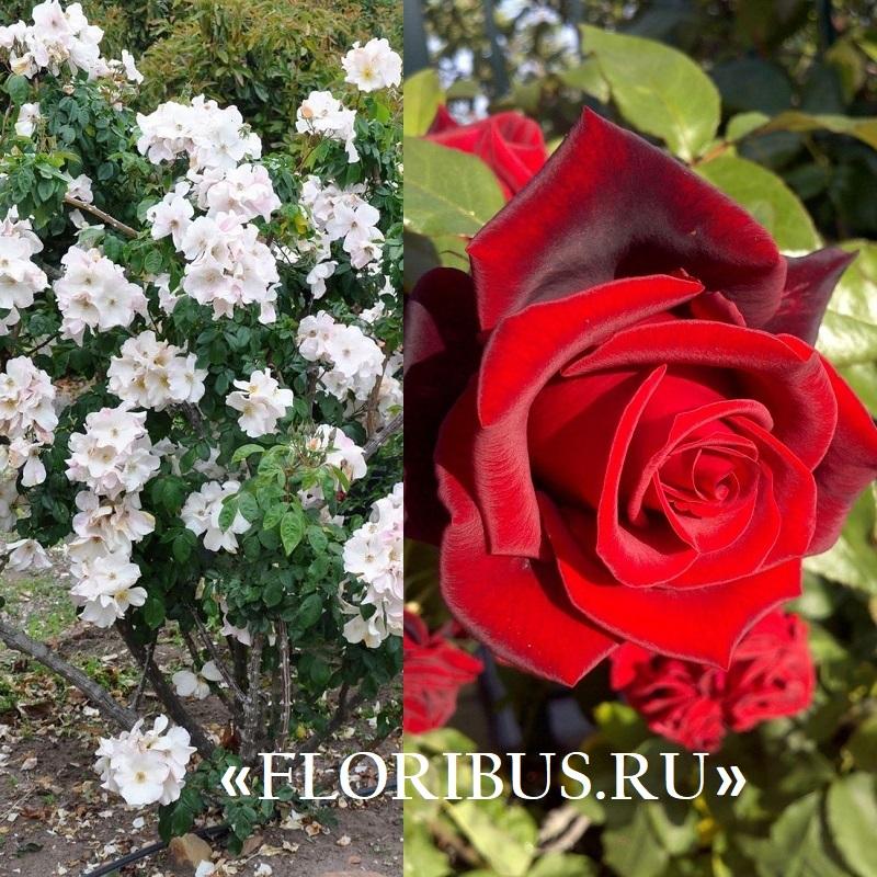 Полиантовые розы уход и выращивание 22