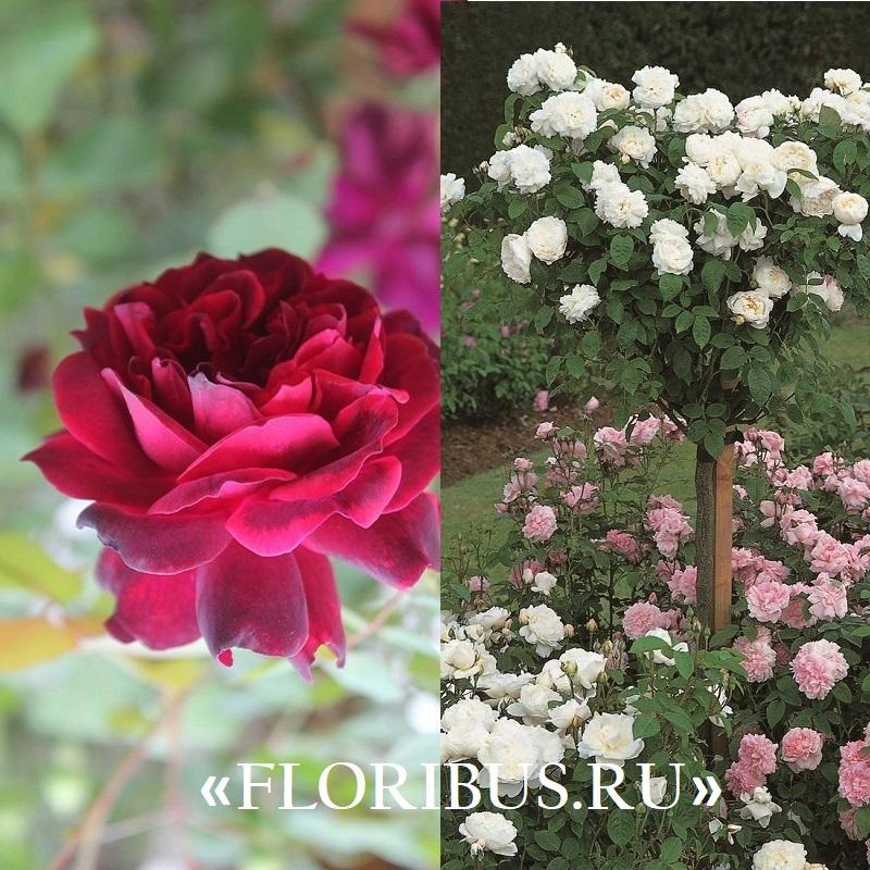 Полиантовые розы уход и выращивание