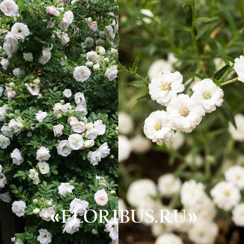 полиантовые розы «Айсберг»