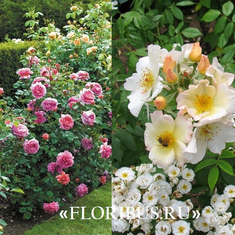 Полиантовые розы уход и выращивание 89