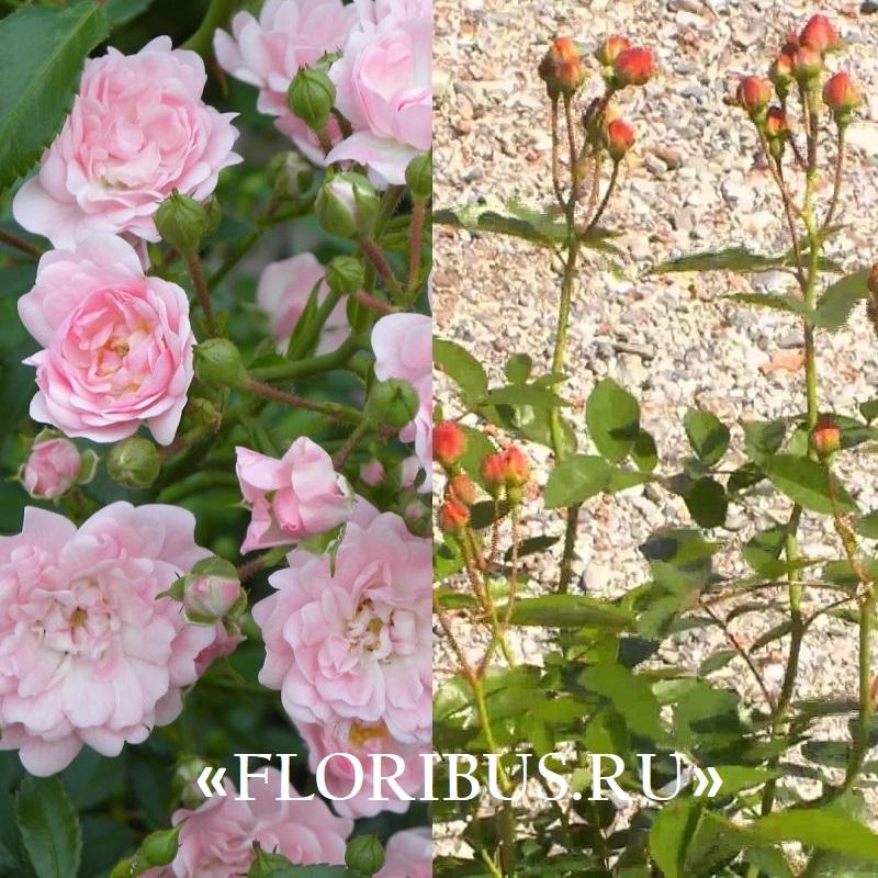 Роза полиантовая уход за ней