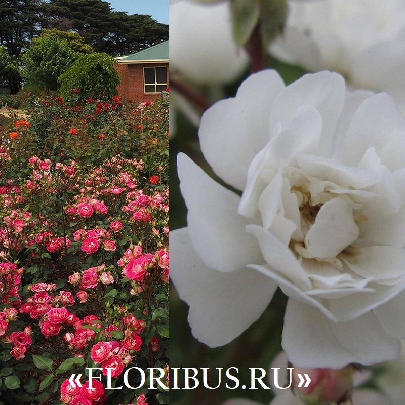 Полиантовые розы уход и выращивание 9