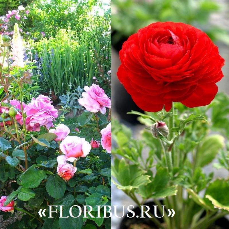 Полиантовые розы уход и выращивание 26