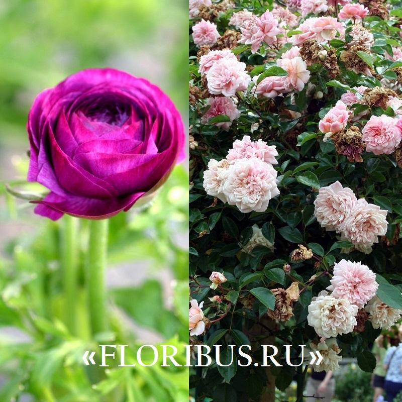 Полиантовые розы уход и выращивание 50