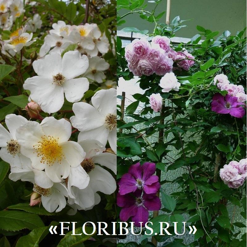 Полиантовые розы уход и выращивание 38