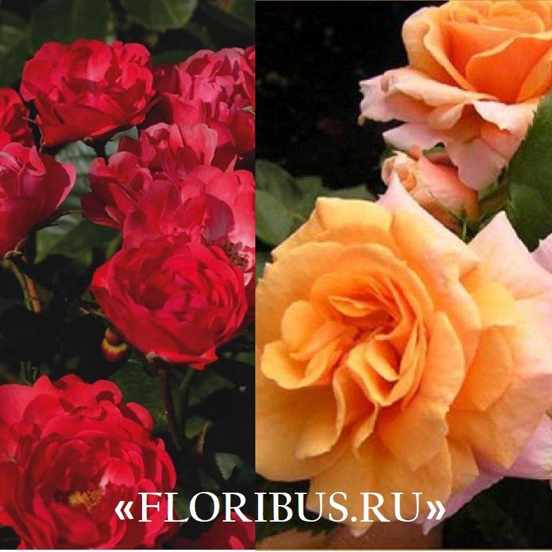 Полиантовые розы уход и выращивание 43