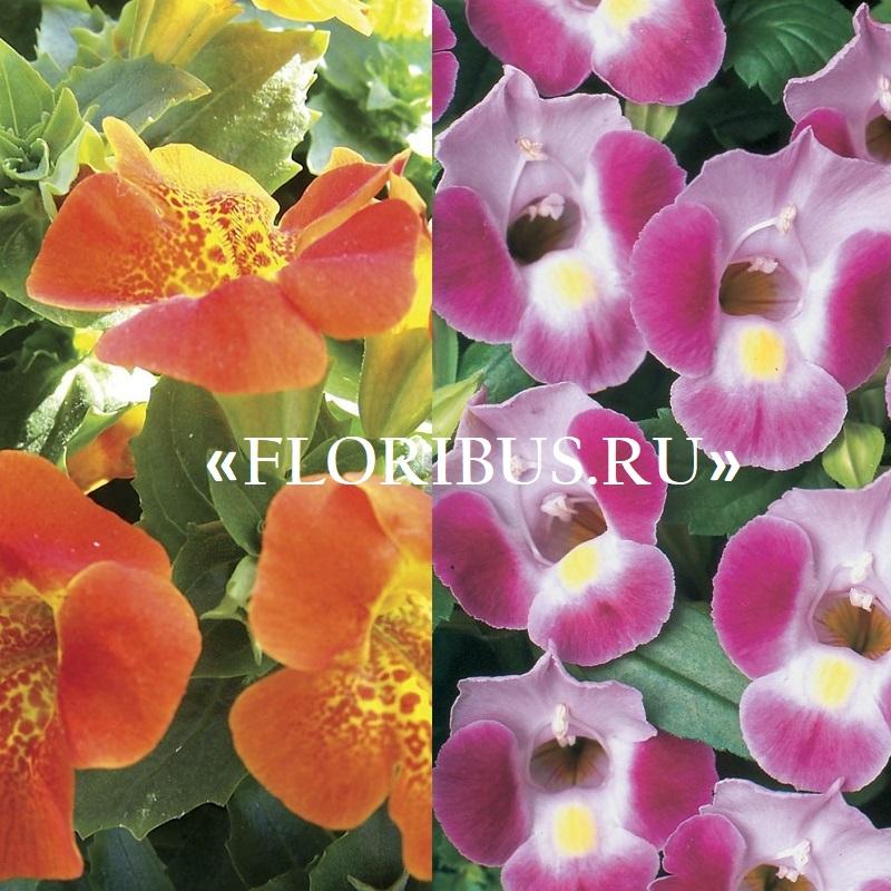 оранжевые цветы торении