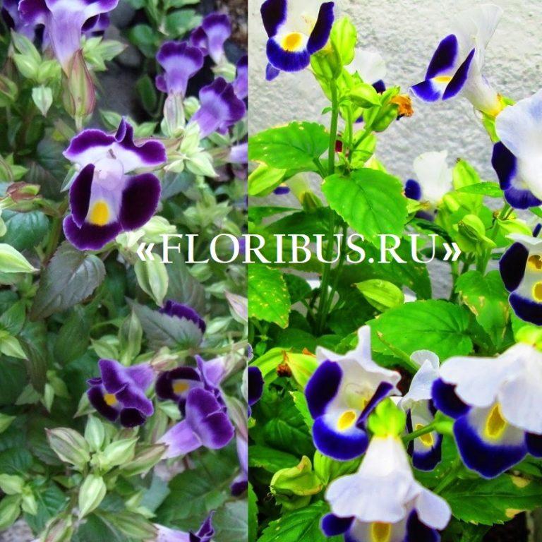 Торения фурнье выращивание из семян 84