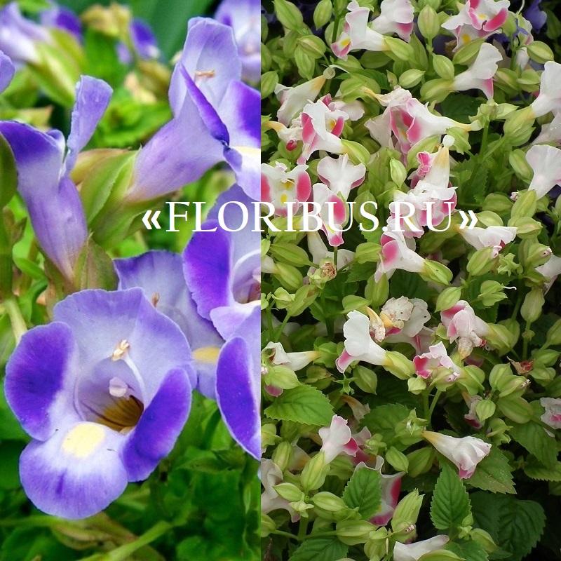 Торения фурнье выращивание из семян 34