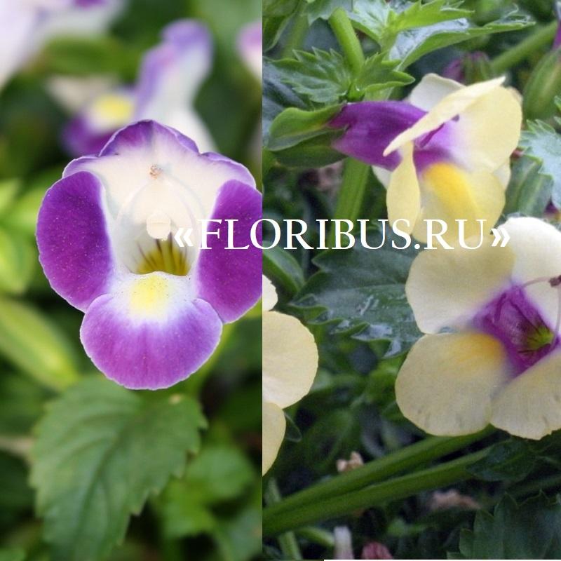 Торения цветы выращивание и уход 23