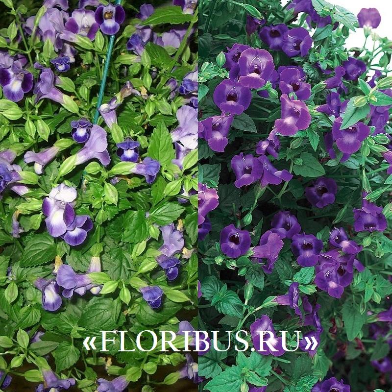 фиолетовая торения