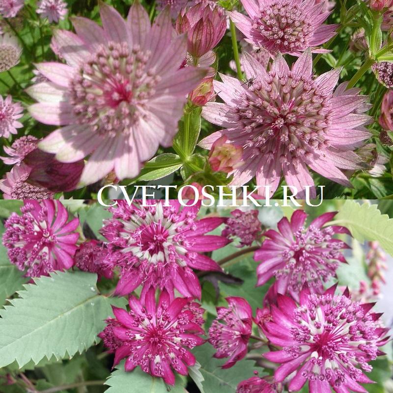 Астранция цветок выращивание 91