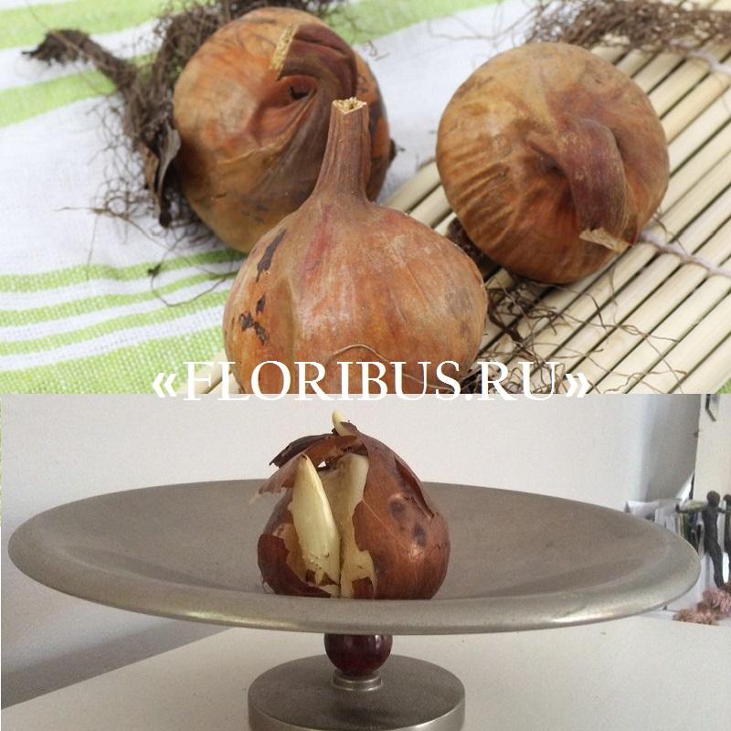 луковицы безвременника на фото