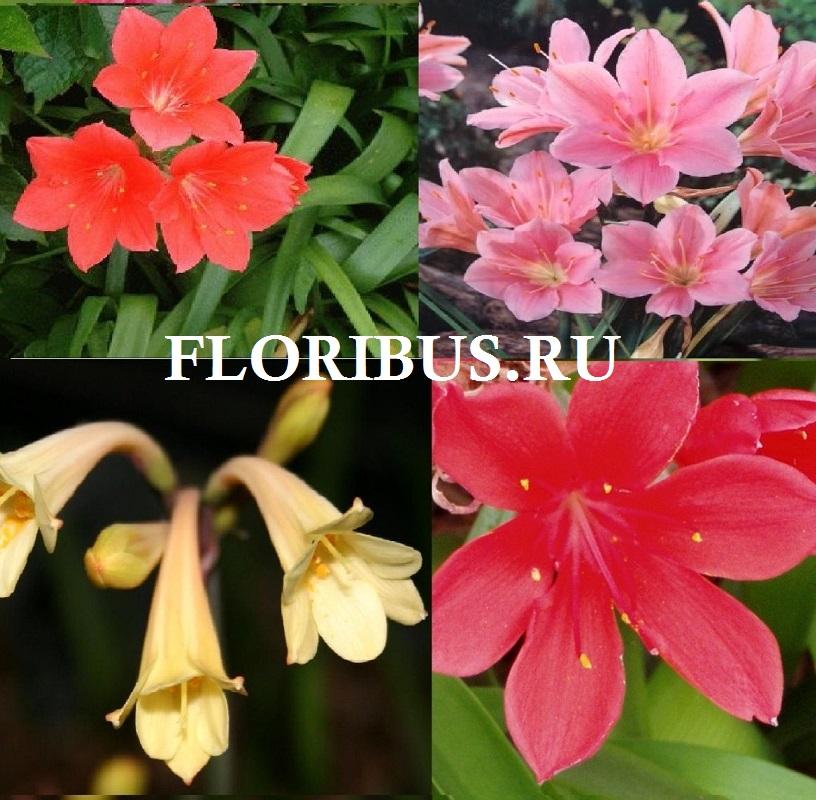 фото цветка валлота