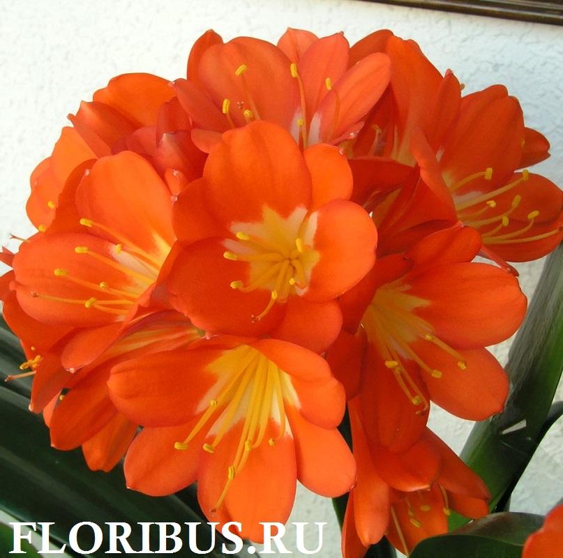 фото цветка валлота пурпурная