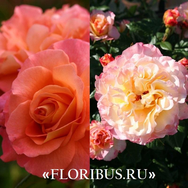 роза Августа Луиза на фото