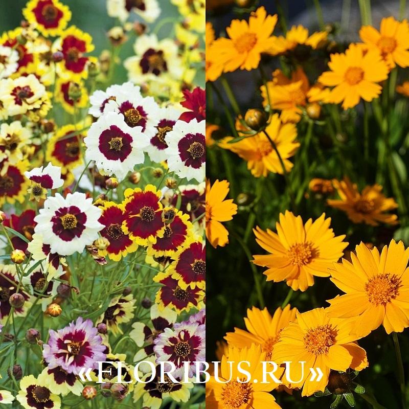 цветы кореопсиса на фото