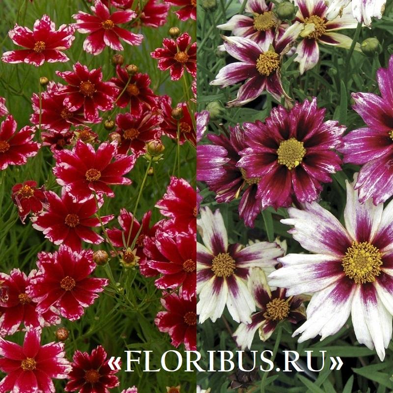 мутовчатый кореопсис и его цветы на фото