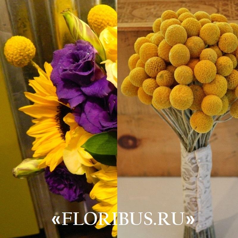 цветы краспедия на фото