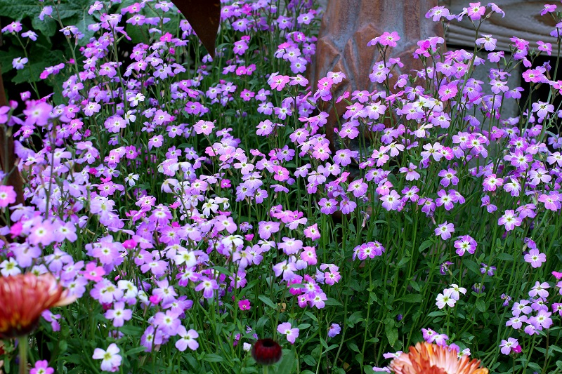 Садовые цветы однолетники с