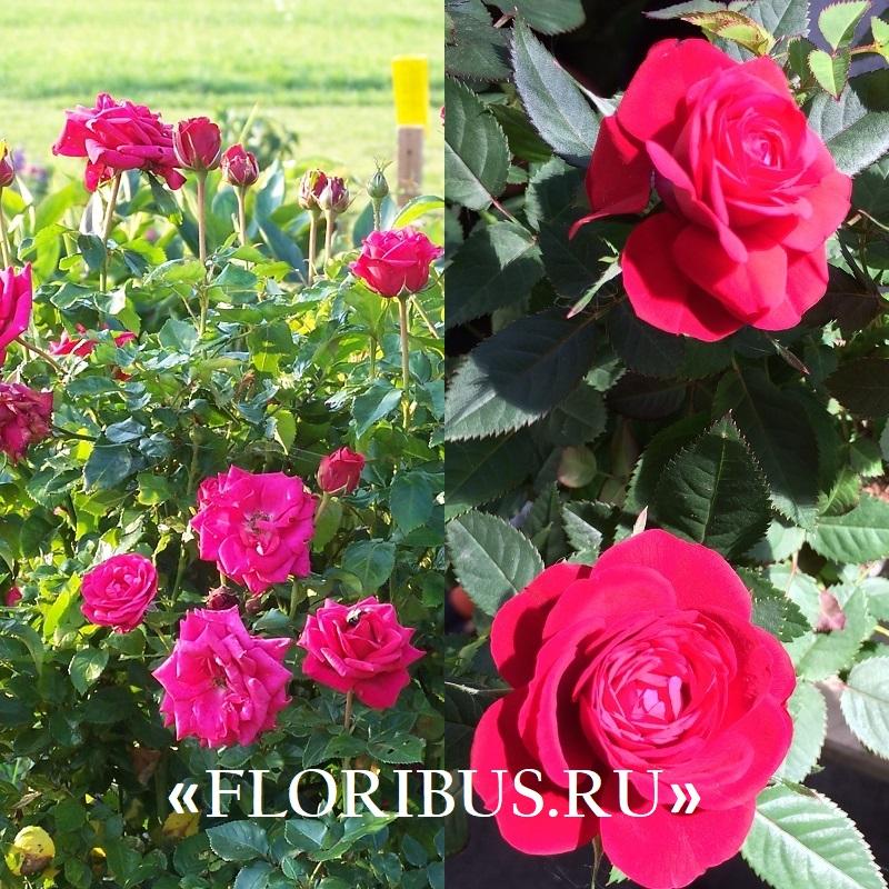 домашние миниатюрные розы на фото