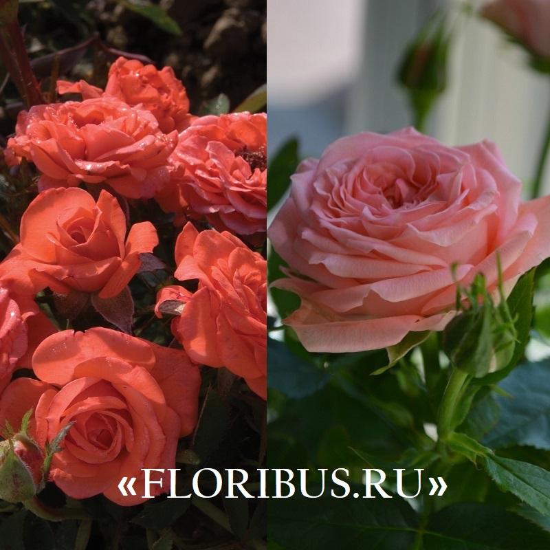 фото миниатюрных роз в саду