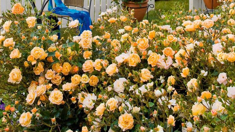 mini-roze Миниатюрные розы дома в горшке и саду: фото, выращивание, уход