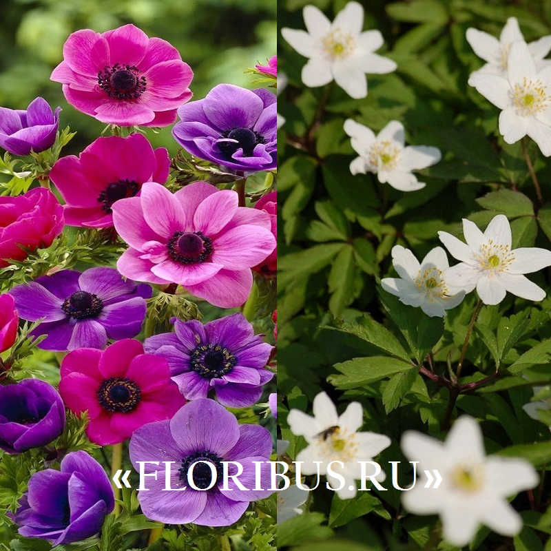 цветы ветреницы на фото