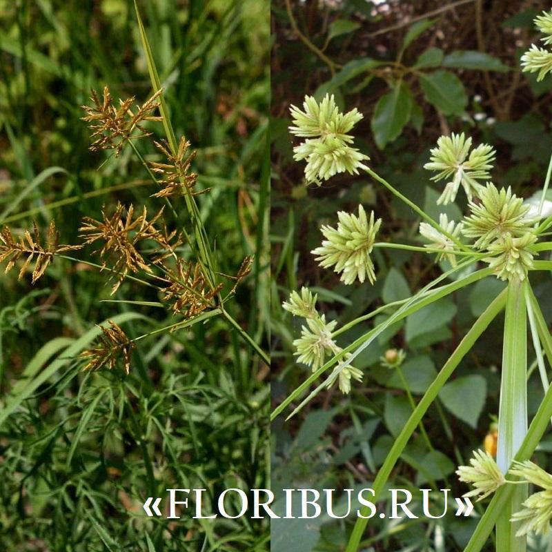 домашнее растение циперус на фото