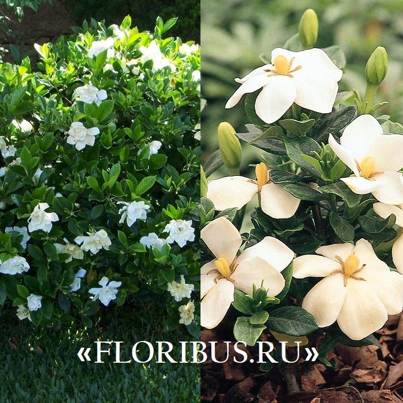 цветы жасминовидная гардения на фото