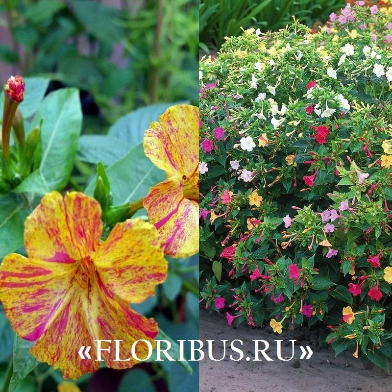 цветок мирабилис на фото
