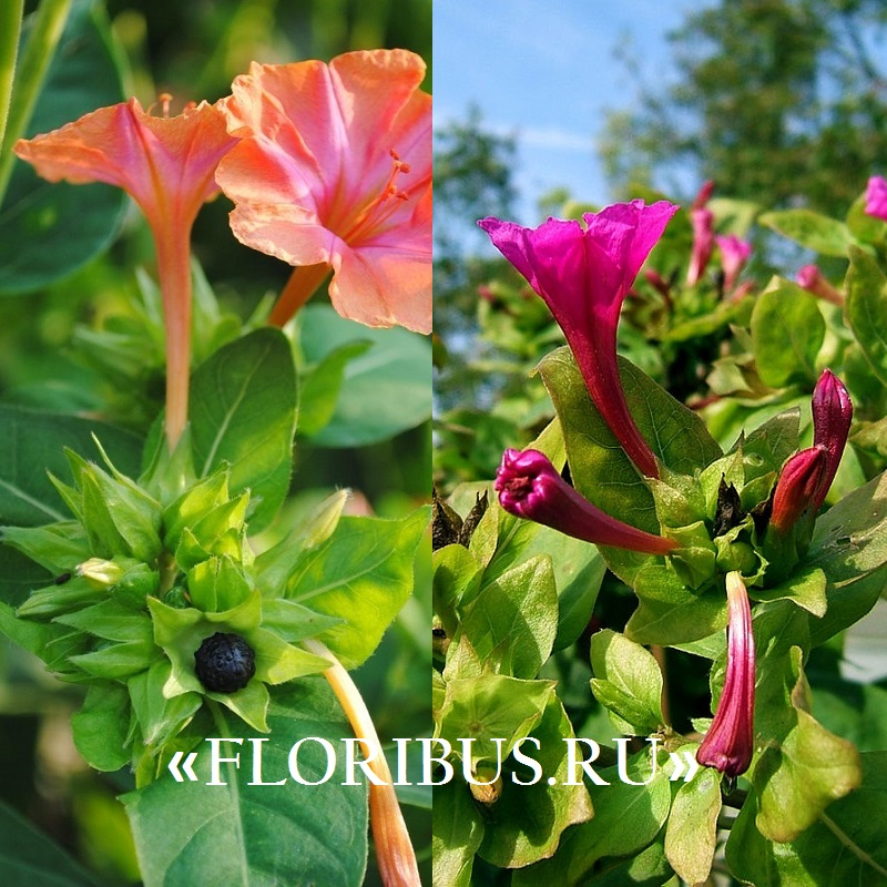 """цветок """"Ночная красавица"""" на фото"""