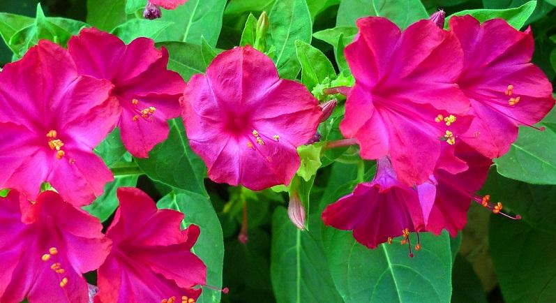 Мирабилис правильное выращивание ночной красавицы