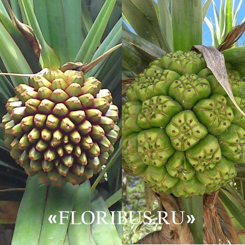 Винтовая пальма панданус в домашних условиях: фото и описание, правила посадки и ухода за растением