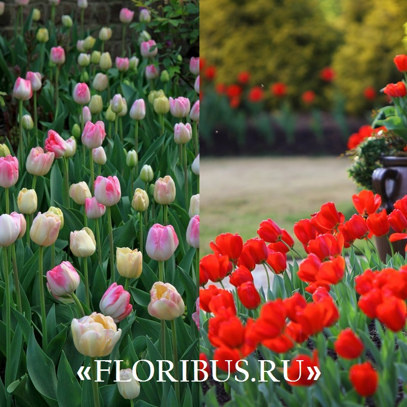 посадка тюльпанов на фото