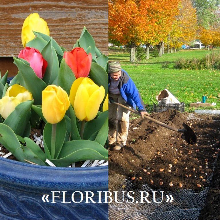 В какое время лучше сажать тюльпаны под зиму 56