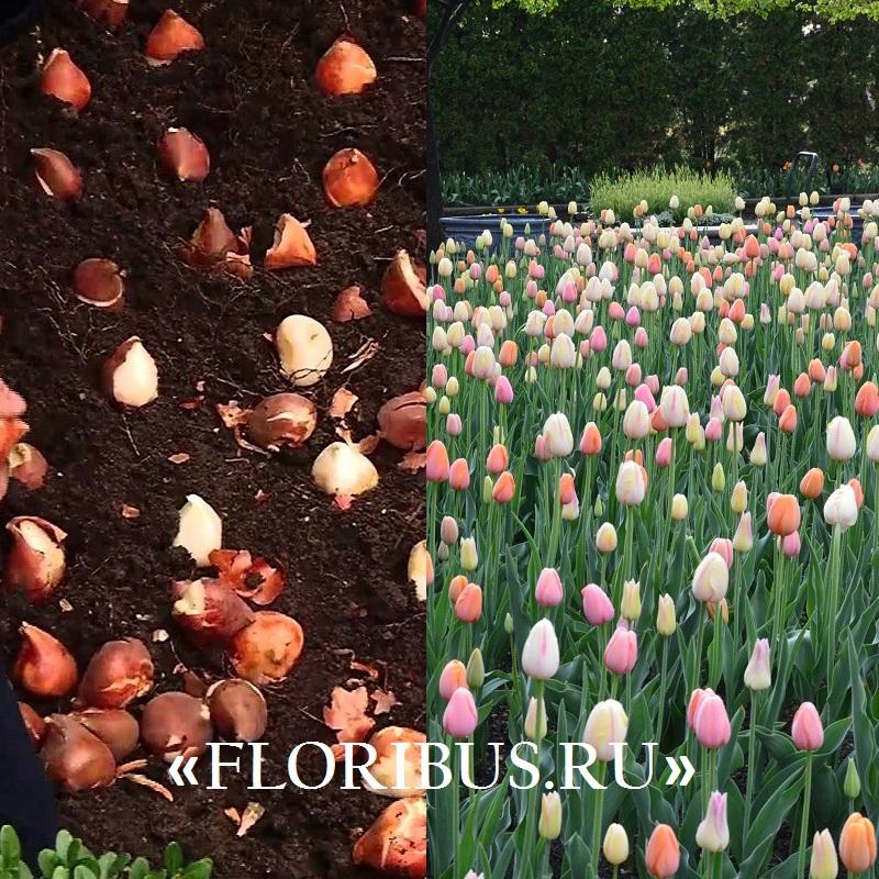 В какое время лучше сажать тюльпаны под зиму 38