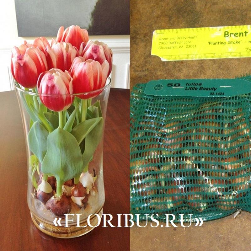 правильная посадка луковиц тюльпанов на фото